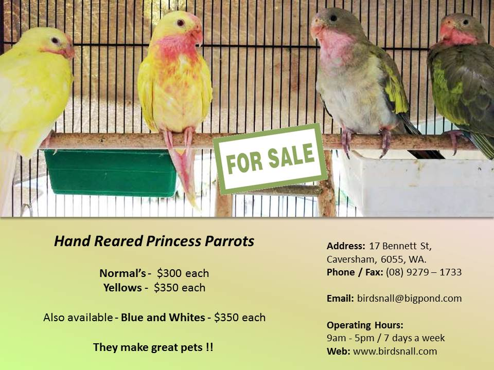Baby Hand Reared Princess Parrots 4 Sale