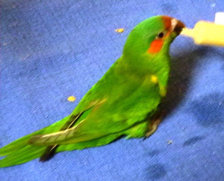 Young Musk Lorikeet being hand reared